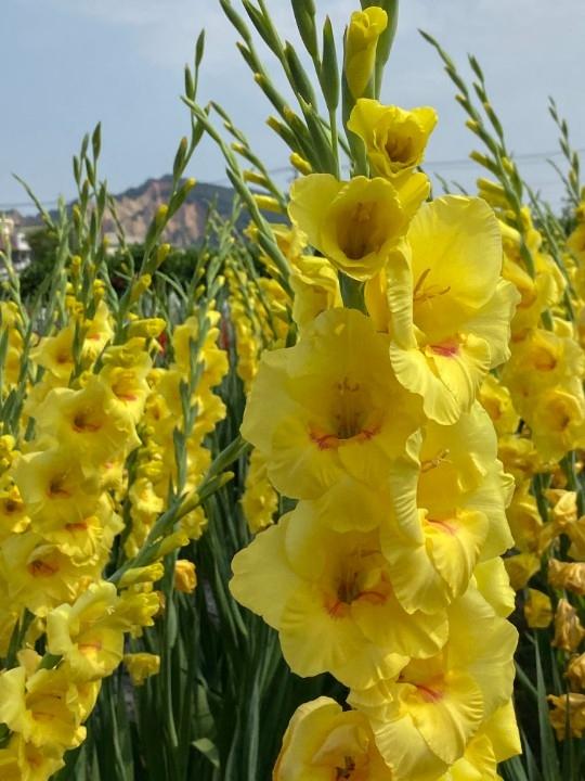 台中重現唐菖蒲盛世 中社花市發表新花色。(記者劉明福翻攝)