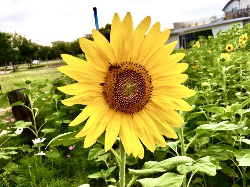 金黃色向日葵綻放。(記者林志強翻攝)
