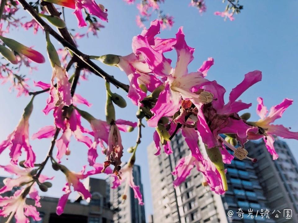 粉嫩唷! 奇岩1號公園「花」現美人樹。(特約記者林有定翻攝).jpg