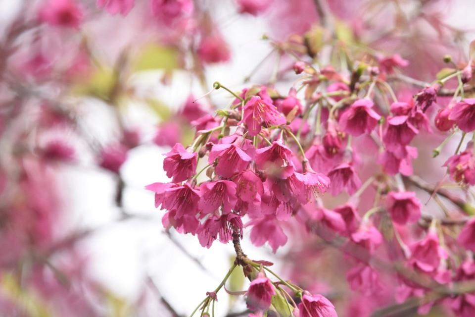 內溝溪期間限定!一探粉色大道的生態之美。(特約記者林有定翻攝).jpg