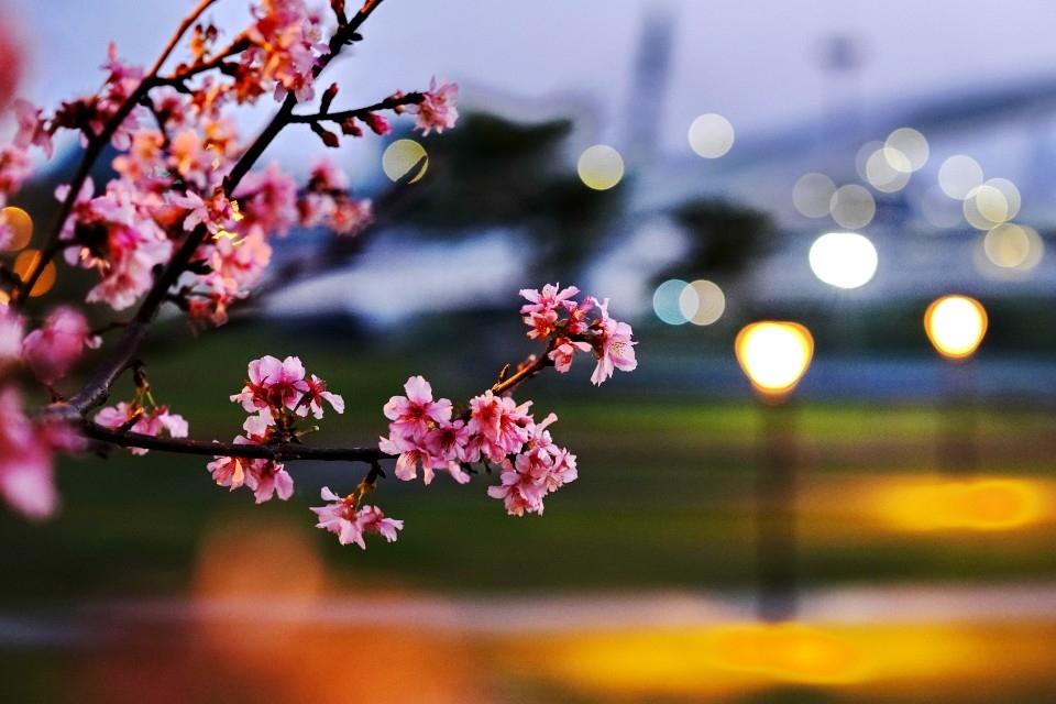 賞櫻範圍於陽光公園入口至溪洲公園沿著河濱步道。(特約記者林有定翻攝)