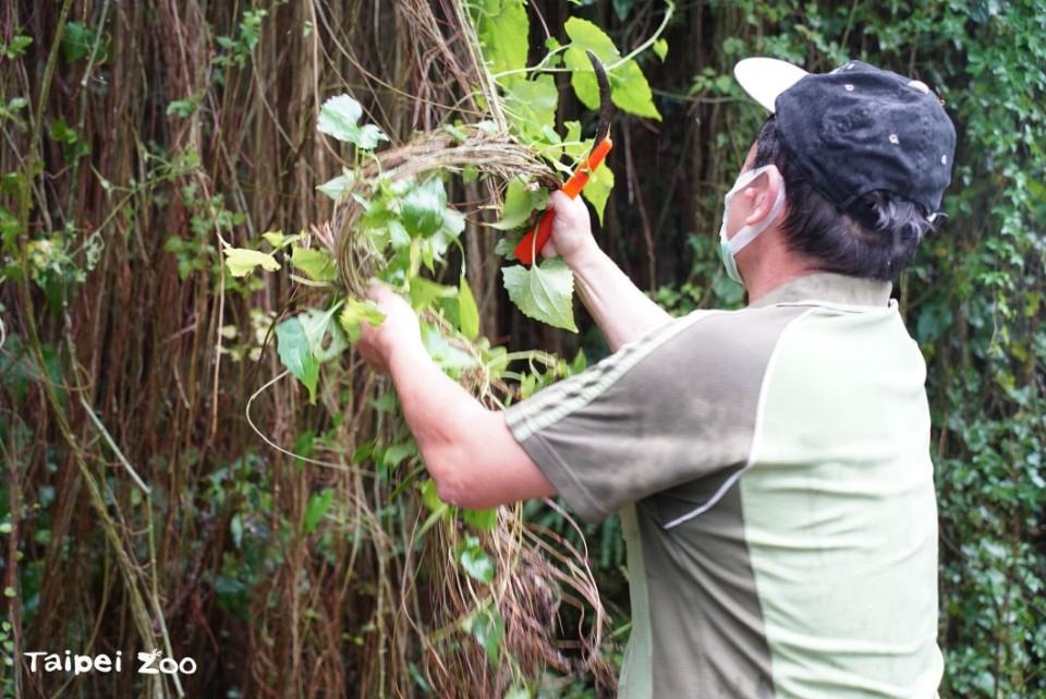 保護在地生物多樣性〜動物園移除外來種植物。(特約記者林有定翻攝).jpg