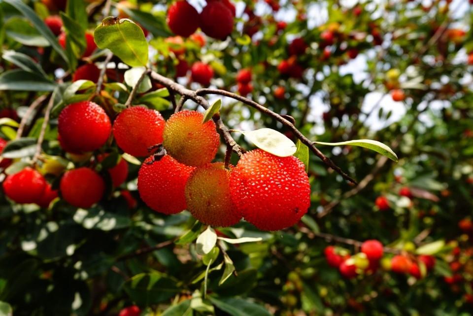 宅在家安心吃 八里樹梅好滋味。(特約記者林有定翻攝).jpg