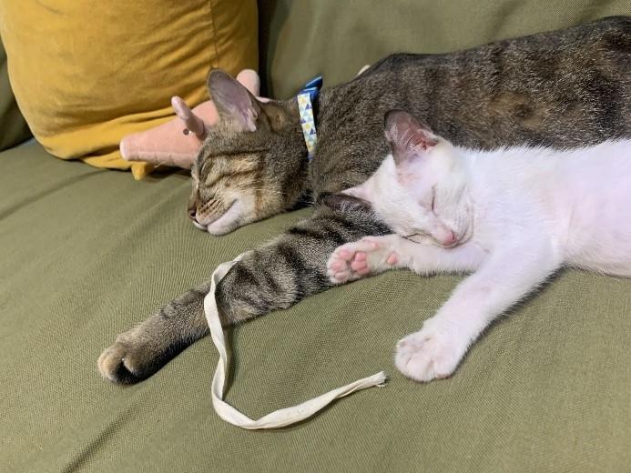 三腳浪貓做月子 截肢重生為最盡責貓媽咪。(特約記者林有定翻攝).jpg