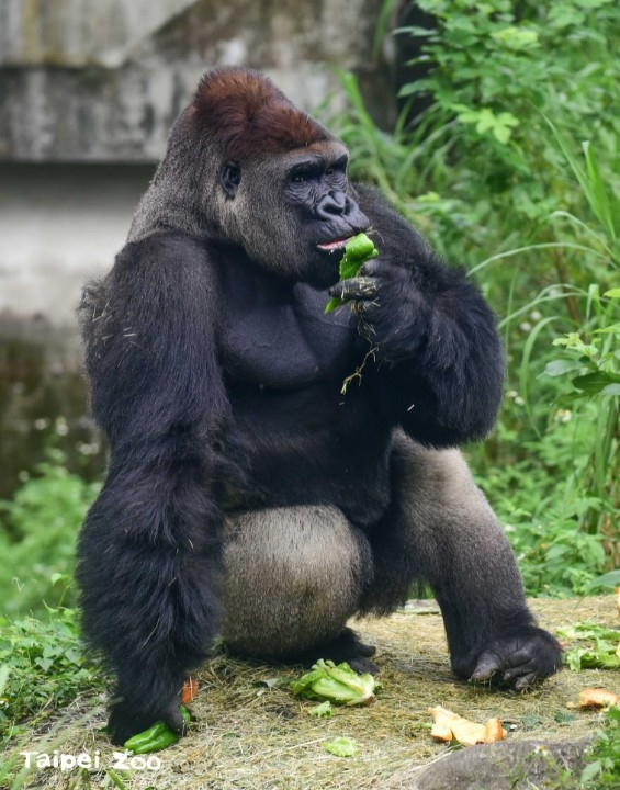 營養均衡不偏食!巨猿食譜這樣調。(特約記者林有定翻攝).jpg