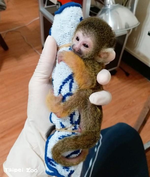 黑冠松鼠猴再添一員~新生寶寶靠人工哺育。(特約記者林有定翻攝).jpg
