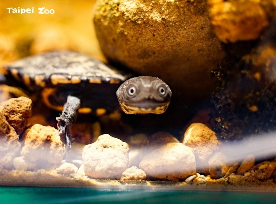 龜寶寶愛挑食~羅地島蛇頸龜首次繁殖成功。(特約記者林有定翻攝).jpg